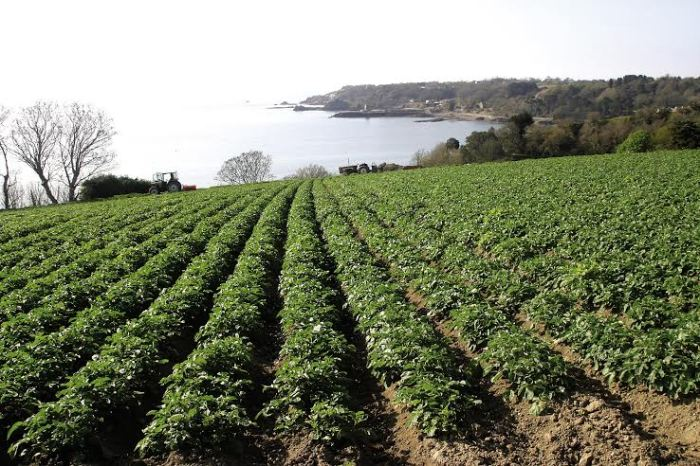 Tis-the-Season....-for-Jersey-Royals-fields